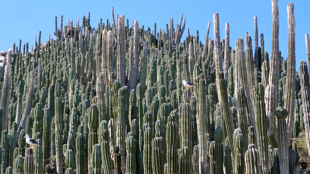 Cardón forest on Isla Cholludo, Gulf of California.