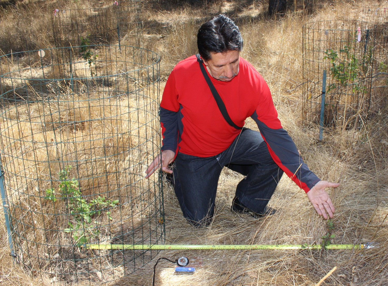 Rodolfo demonstrates the difference in the intensity of herbivore damage between caged oak saplings (left), which are protected from large herbivores such as deer, and uncaged saplings (right).