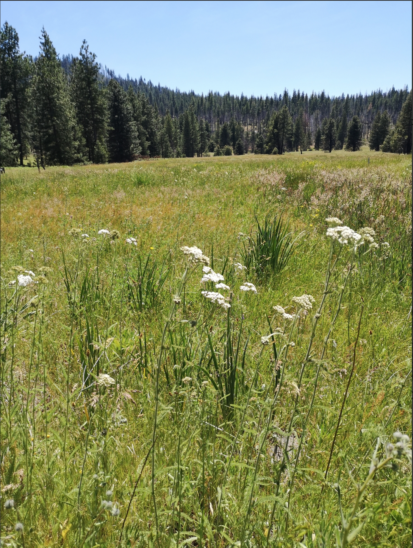 Common yarrow in Tuolomne meadow